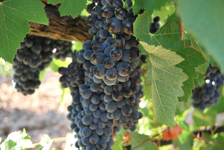 Uvas de la Viña de Bodegas Canopy